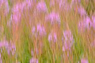 Schmalblättriges Weidenröschen (Epilobium angustifolium) bei der Alp Curtegns oberhalb von Savognin im Surses an einem bewölkten Sommertag im September