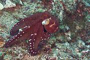 day octopus, big blue octopus, Cyane's octopus, or he'e mauli, Octopus cyanea, exhibiting white spot startle color pattern, Pebble Beach, South Kona, Hawaii Island ( the Big Island ), Hawaiian Islands, U.S.A. ( Central Pacific Ocean )