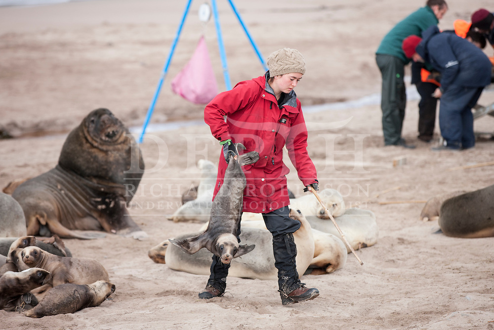 Rebecca French from the New Zealand Sea Lion Research programme retrieves a Phocarctos hookeri (New Zealand Sea Lion) pup to be tagged and microchipped at the Sandy Bay colony, Enderby Island, Auckland Islands, New Zealand. Tagging enables scientists to keep a track of movements and estimate population numbers.<br /> 16 January 2016. <br /> Photograph Richard Robinson © 2016