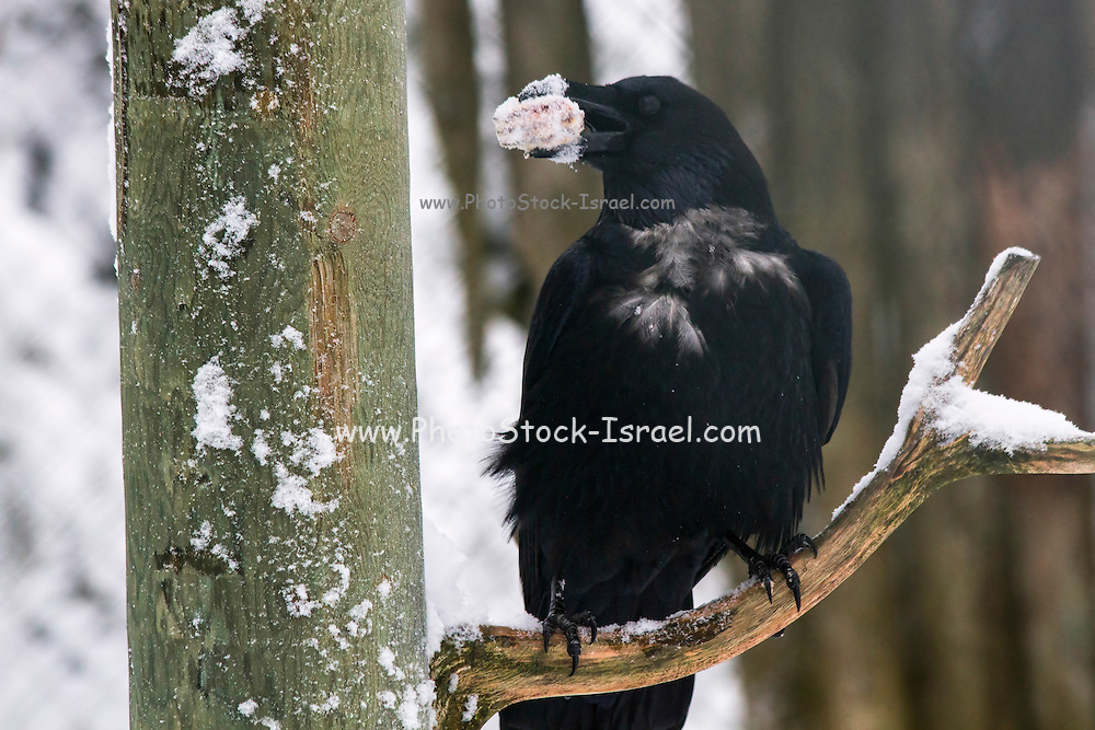 Common Raven (Corvus corax), in the snow. Photographed in the arctic circle, Lapland, Scandinavia in February