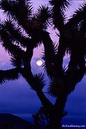 Joshua Tree in bloom with full moon at  Joshua Tree National Park in California