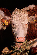 A87CKB Hereford cow eating hay