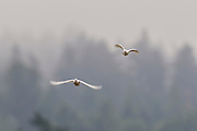 A pair of white doves fly over Heritage Park in Kirkland, Washington.