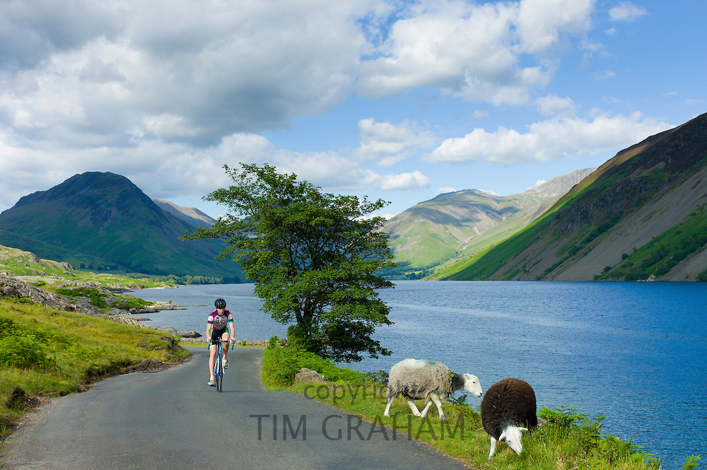 Cyclist passes traditional Herdwick sheep grazing by the road at Wastwater in the Lake District National Park, Cumbria, UK