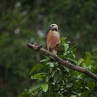 A Black-collared Hawk (Busarellus nigricollis)  perches in a tree in the Peruvian Amazon Jungle.