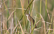 Savi's Warbler Locustella luscinioides L 14-15cm. Reedbed specialist that is hard to see. Sexes are similar. Adult and juvenile have uniformly warm brown upperparts. Underparts are paler but flushed buffish brown on breast and flanks; undertail coverts are warm buffish brown. Voice Call is a sharp tviit. Song is reeling, endless and insect-like; sung mainly at night. Status to extensive wet reedbeds, mainly in East Anglia and Kent.