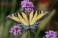 Eastern Tiger Swallowtail On Brazilian Verbena, Papilio glaucus Linnaeus