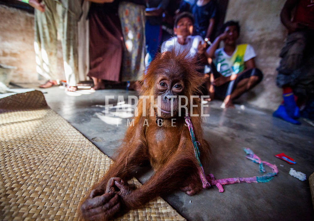 A malnourished infant Sumatran orangutan is placed on the floor of a village house while his price is negotiated. Poachers captured him in Tripa swamp forest being cleared for an oil palm plantation in Indonesia's Leuser Ecosystem. His mother would have been shot or beaten to death. Paul was part of a team working for the Sumatran Orangutan Conservation Programme (SOCP) investigating illegal palm oil expansion when he heard that a baby was for sale. There was tension in the room as Paul, posing as a buyer, took a photograph, then agreed to buy him, for less than $100. When he returned with local police, the infant had vanished. It took days for the traders to comply with police demands to hand him over. After four years of rehabilitation by SOCP, Chocolate as he was named, was successfully returned to the wild, spared a lingering death as a pet or in transit to an overseas black-market destination. There are now fewer than 14,000 Sumatran orangutans left in the wild.