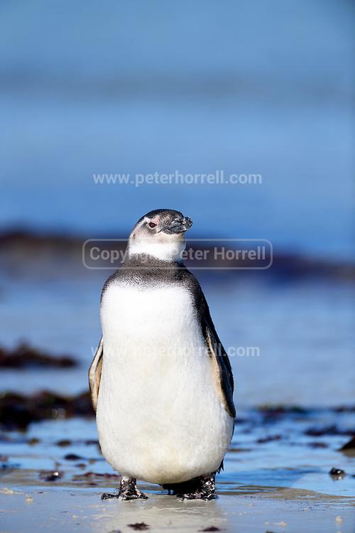 A Magellanic penguin (Spheniscus magellanicus) on the beach at Carcass Island on Sunday 4th February 2018.
