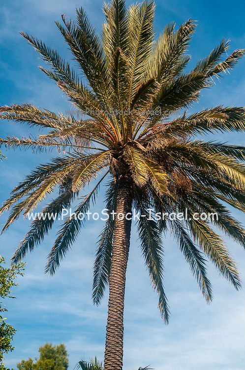 Palm trees with blue sky background Photographed in Hakovshim park, Tel Aviv Israel