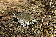 Ovenbird - 1st Autumn - Seiurus aurocapilla
