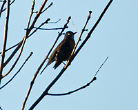 American Robin. Image taken with a Nikon N1V3 camera and 70-300 mm VR lens