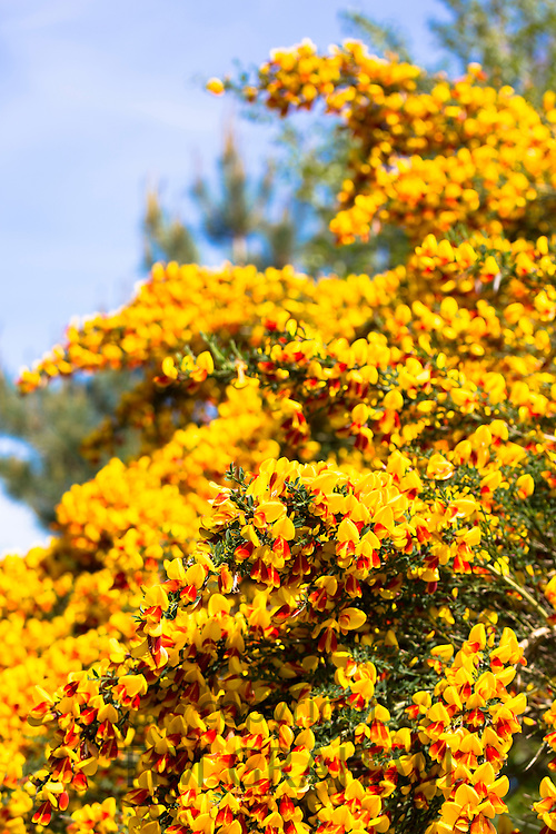 Yellow and red Common Broom - Cytisus scoparius - bushy shrub also known as Scots Broom, Beesom or Scotch Broom In the Scottish Highlands