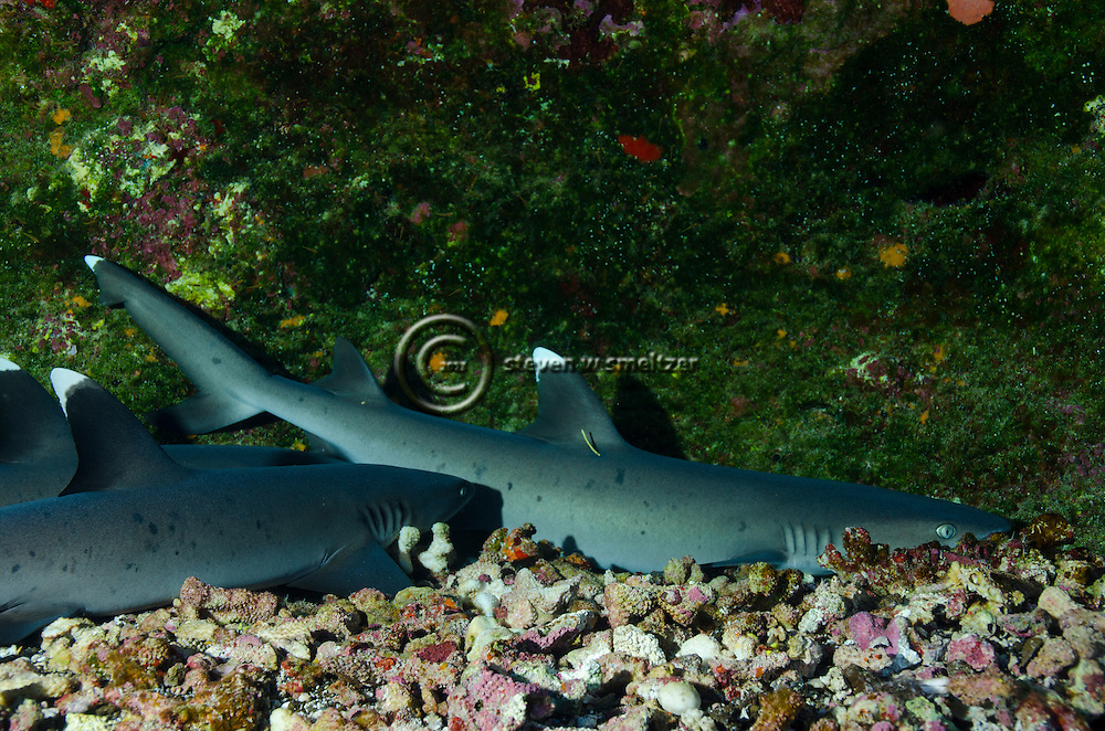 White-tip Reef Shark, Profile, Triaenodon obesus, (Rüppell, 1837), mano lalakea, Molokini Crater, Hawaii