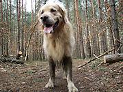Golden Retriever Lemmy während einem Spaziergang im Wald. Der Golden Retriever ist ein intelligenter, freudig arbeitender Hund, dem auch extreme, nasskalte Witterungsbedingungen nichts ausmachen. Dem steht allerdings eine relativ starke Empfindlichkeit hinsichtlich hoher Temperaturen gegenüber. Grundsätzlich ist die Rasse ruhig, geduldig, aufmerksam und niemals aggressiv.<br /> <br /> Golden Retriever Lemmy during a walk in the forest.