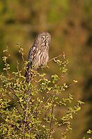 Great grey owl (Strix nebulosa) perched atop alder tree, Bergslagen, Sweden.