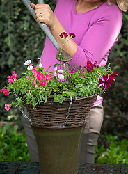 Planting up a hanging basket. Watering in.