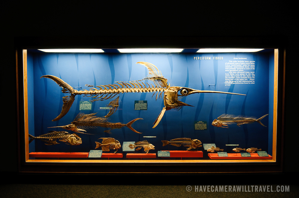 Skeleton of a swordfish and other fish at the Smithsonian Institution's National Natural History Museum in Washington DC.