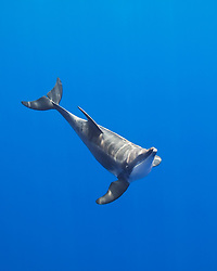 rough-toothed dolphin, Steno bredanensis, analyzing the photographer by using impulse-type (click-type) sonar for precise echolocation and imaging, Kona Coast, Big Island, Hawaii, Pacific Ocean
