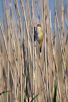Reed Warbler (Acrocephalus scirpaceus), Texel, the Netherlands