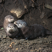 Young river otter (Lontra canadensis) pups, Montana. Captive Animal