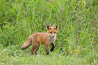 Red fox (Vulpes vulpes) young cub. Oostvaardersplassen