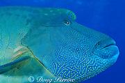 giant humphead wrasse ( aka Napoleon or Maori wrasse ) <br /> Cheilinus undulatus, The Cod Hole, Ribbon Reefs, Great Barrier Reef, Australia<br />  ( Western Pacific Ocean )