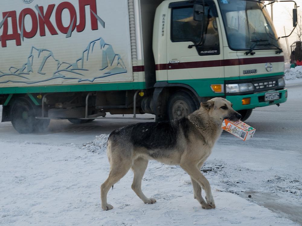 Obdachloser Hund mit einer Tetra Pak Verpackung bei -30 Grad Celsius im Zentrum von Jakutsk. Jakutsk hat 236.000 Einwohner (2005) und ist Hauptstadt der Teilrepublik Sacha (auch Jakutien genannt) im Foederationskreis Russisch-Fernost und liegt am Fluss Lena. Jakutsk ist im Winter eine der kaeltesten Grossstaedte weltweit mit durchschnittlichen Winter Temperaturen von -40.9 Grad Celsius. Die Stadt ist nicht weit entfernt von Oimjakon, dem Kaeltepol der bewohnten Gebiete der Erde.Die Stadt ist nicht weit entfernt von Oimjakon, dem Kaeltepol der bewohnten Gebiete der Erde.<br /> <br /> Homeless dog with a Tetra Pak package during -30 degrees celsius looking for food in the center of Yakutsk. Yakutsk is a city in the Russian Far East, located about 4 degrees (450 km) below the Arctic Circle. It is the capital of the Sakha (Yakutia) Republic (formerly the Yakut Autonomous Soviet Socialist Republic), Russia and a major port on the Lena River. Yakutsk is one of the coldest cities on earth, with winter temperatures averaging -40.9 degrees Celsius.