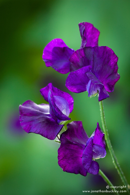 Lathyrus odoratus 'Blue Velvet' . Sweet pea