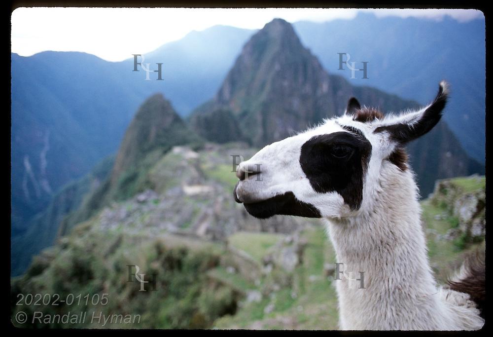 Head portrait of llama w/ peak Huayna Picchu & ruins of ancient Inca city in back; Machu Picchu. Peru