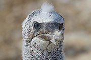 Portrait of a juvenile Australasian gannet, at the Cape Kidnappers gannet colony in Hawke's Bay, New Zealand.