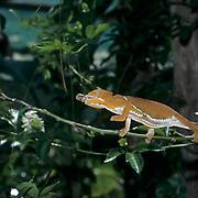 Chameleon (Furcifer pardalis) feeding on an insect in Madagascar.