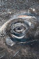 Eye of a Gray Whale ,Eschrichtius robustus,, San Ignacio Lagoon, Baja California, Mexico.