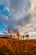 Rocky Mountain Bee Plant, Morning Clouds and the Snake Range, BLM Lands, White Pine County, Nevada
