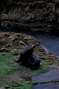 New Zealand Fur Seal, Arctocephalus foresteri, Moeraki Point, South Island