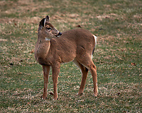 Young Backyard Deer. Image taken with a Nikon Df camera and 300 mm f/4 lens (ISO 100, 300 mm, f/4, 1/500 sec).