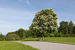 Blossoming chestnut tree at roadside in field, Bavaria, Germany