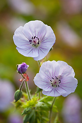 Geranium 'Lilac Ice'