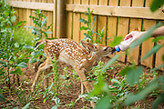 A baby fawn is raised in a protected area at Wildcare in Noble, OK.