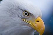 Bald Eagle, Haliaeetus leucocephalus, close-up, Kenai Peninsula, Homer Spit, Homer, Alaska. Digital original, #2006_0397 ©Robin Brandt