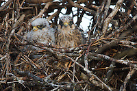 Chicks of Red-footed Falcon at nest in breeding colony, Bagerova Steppe, Kerch Peninsula, Crimea, Ukraine