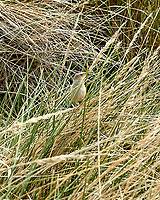 Sedge Wren (Cistothorus platensis). Stanley, Falkland Islands. Image taken with a Leica T camera and 18-56 mm lens.