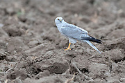 Pallid harrier (Circus macrourus, male) from Jawai-area, Rajasthan, India in February.