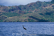 spinner dolphin, Stenella longirostris, off coast of St. Vincent, Saint Vincent & the Grenadines, West Indies ( Eastern Caribbean Sea )