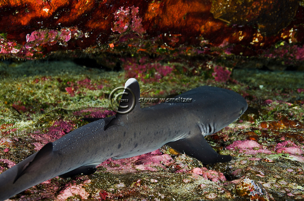 White-tipped reef shark, Triaeonodon obesus, (Rüppell, 1837), Molokini Crater, Hawaii