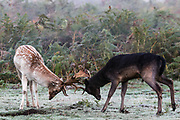 Two Stags are seen rutting during the breeding season which takes place during autumn, in Bushy Park, south-west London on Friday, Oct 16, 2020. (VXP Photo/ Vudi Xhymshiti)