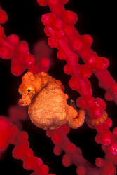 This Pygmy Sea Horse, Hippocampus denise, is among the world's smallest, growing to only the size of a grain of rice. As with all sea horses, it is the male that gives birth, and this individual looks as if he might do so at any moment. Wakatobi Marine Reserve; Tukang Besi Archipelago; Sulawesi; Indonesia; Banda Sea; Pacific Ocean
