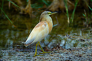 squacco heron (Ardeola ralloides). This small heron mainly feeds on insects, but also takes birds, fish and frogs. It is found in southern Europe, West Asia and southern Africa. Photographed in Israel in July