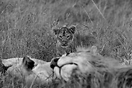 Lion cub plays with careless freedom while under the watchful presence of Mother in the Maasai Mara.