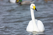 Whooper Swan, Cygnus cygnus, close up at Welney Wetland Centre, Norfolk, UK